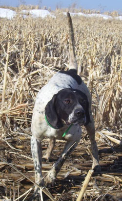 Blue Male English Pointer from Outback Kennels
