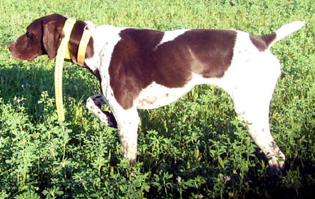 Bonnie Female German Shorthair Hunting Dog For Sale