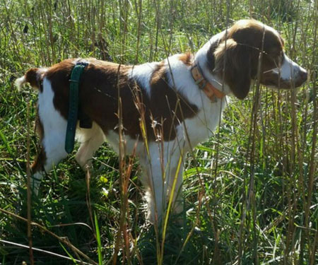 Brittany Dog For Sale