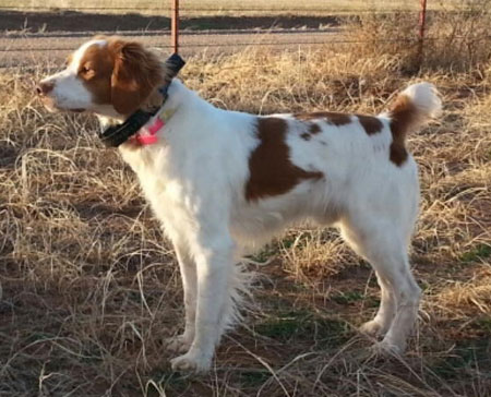 Brittany Hunting Dog For Sale