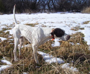 Bubba Male English Pointer from Outback Kennels
