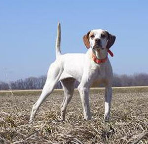 Cheech English Pointer Hunting Dog