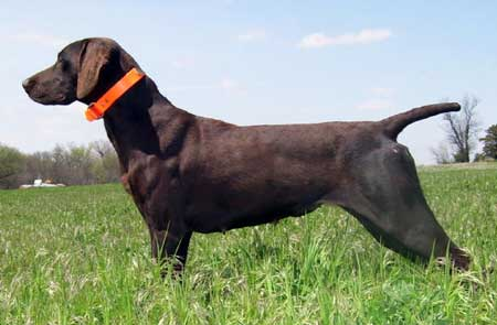 Daisy Female German Shorthair Hunting Dog