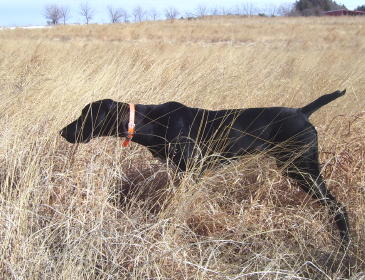 Esaw Male German Shorthair Pointer from Outback Kennels