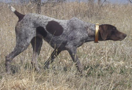 Female German Shorthair Pointer Hunting Dog For Sale