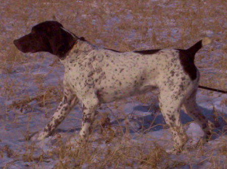 Miami Female German Shorthair Pointer hunting dog for sale