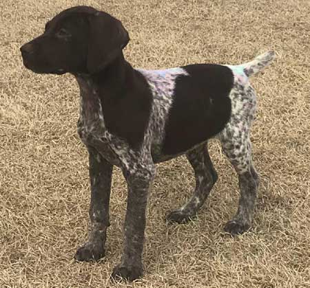 Puppies For Sale Outback Kennels