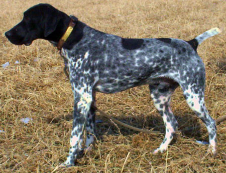 Ranger Male German Shorthair Pointer hunting dog for sale