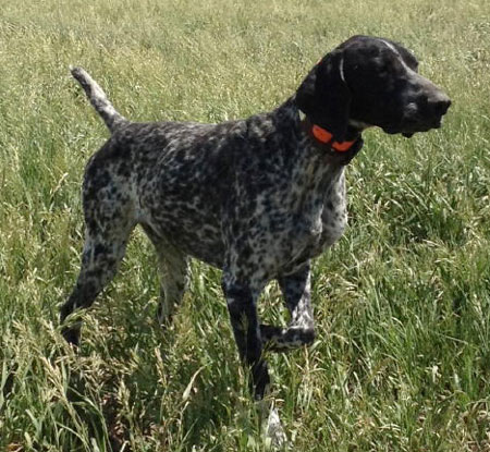 German Shorthaired Pointer Black Roan | www.pixshark.com ...
