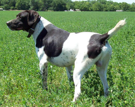 Hank Male German Shorthair Hunting Dog For Sale