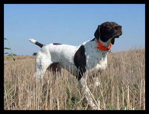 Jock German Shorthair Hunting Dog