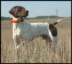 Jock German Shorthair Pointer Stud Dog