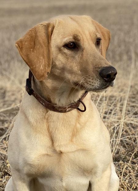 Labrador Retriever Dogs For Sale Outback Kennels
