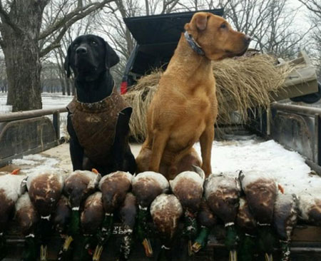 Trained Duck Dogs For Sale In Texas