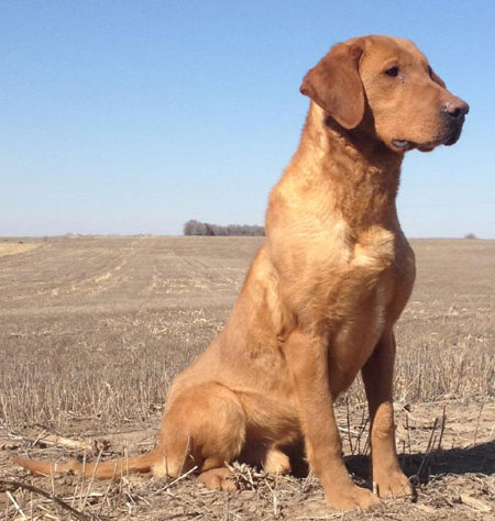 Hunting Labs Yellow Lab Female Hunting Dog