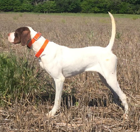 Bonnie Female English Pointer from Outback Kennels