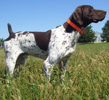 Ruger German Shorthair Hunting Stud Dog