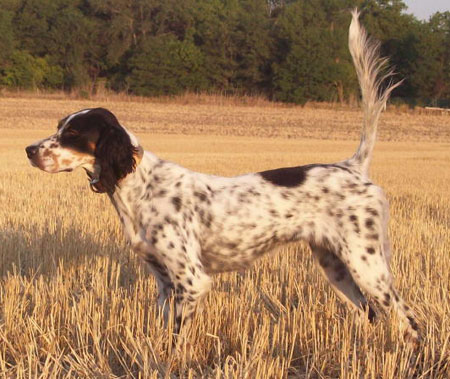 Trained English Setter Hunting Dogs For Sale