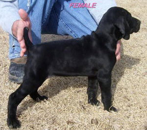 Solid Black German Shorthair Female