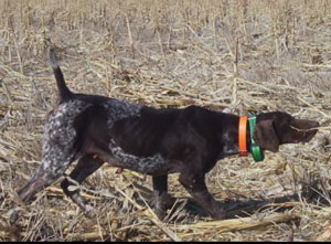 Shelby German Shorthair Hunting Dogs