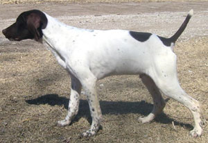 Sig Male German Shorthair Hunting Dog
