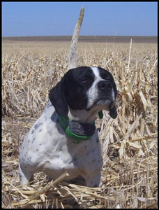 Snoop Male English Pointer Hunting Dog from Outback Kennels