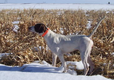 Ug Female English Pointer from Outback Kennels
